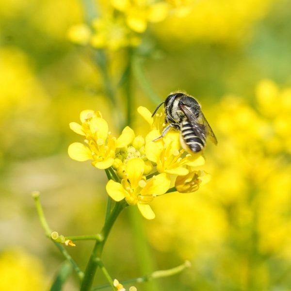 Ape solitaria Megachile rotundata su fiore