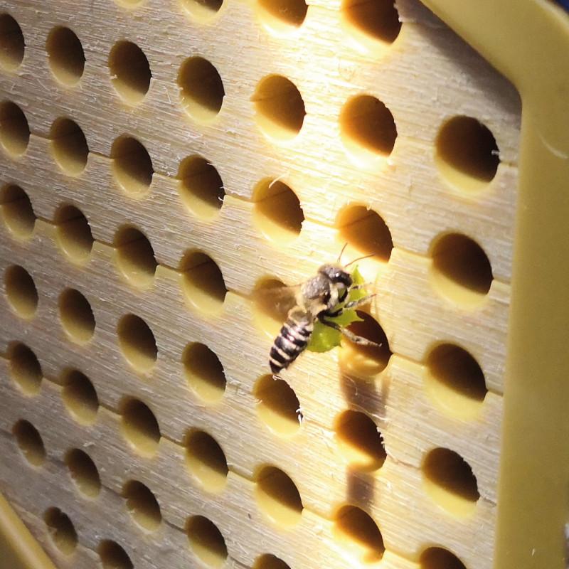 ape solitaria su Planet Bee