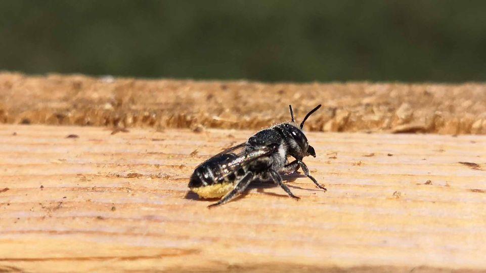 scopa api Megachile rotundata